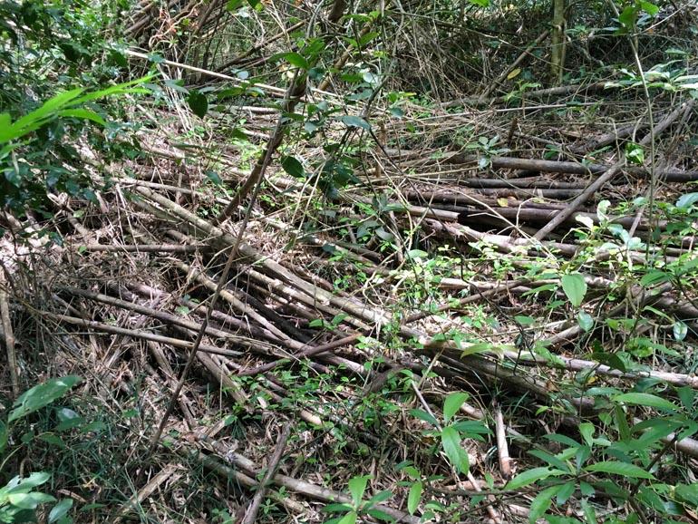 Fallen bamboo