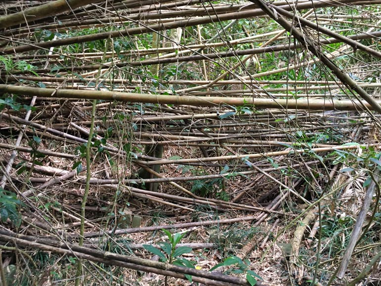 A whole bunch of fallen bamboo