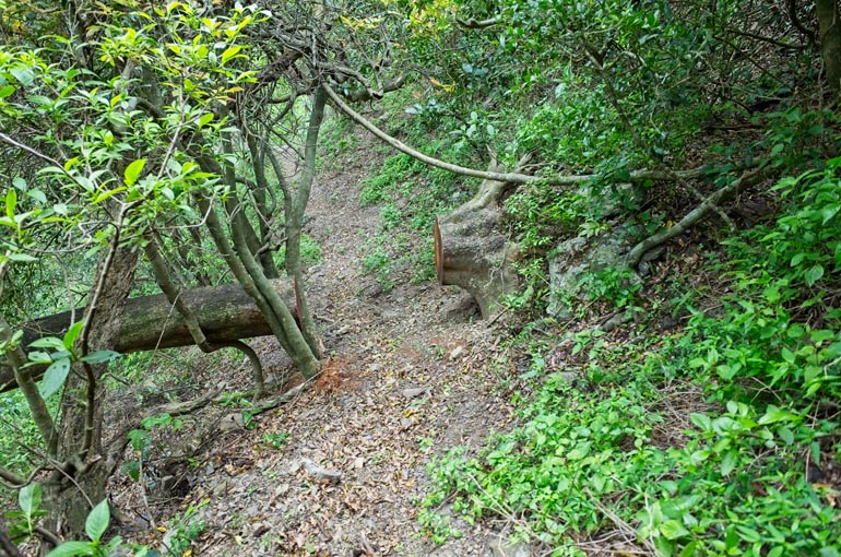 Large tree blocking trail that has been cut and removed