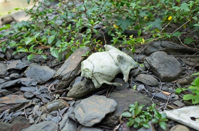 Skull of animal on the rocks