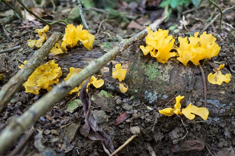 Yellow fungus on dead log