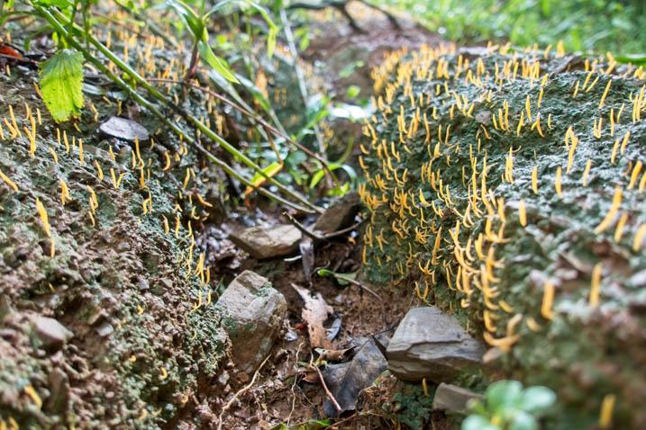 Some kind of orange hair-like fungus growing on green moss - closeup