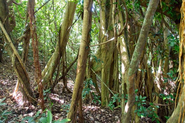 Many vine-like trees
