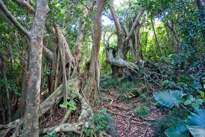 Vine-like trees - trail in center