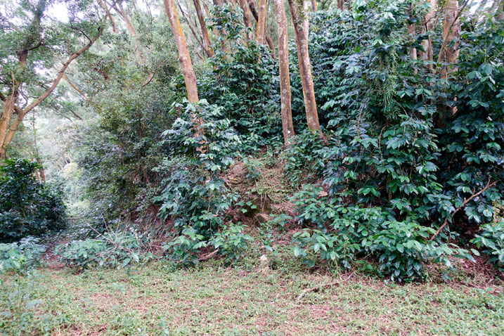 Trail head - many coffee trees going up the mountain