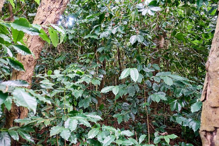 Wild coffee trees