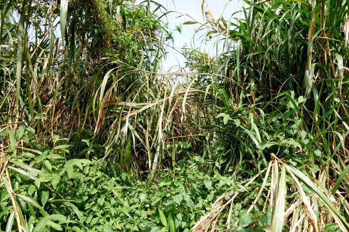 Large stalks of overgrowth