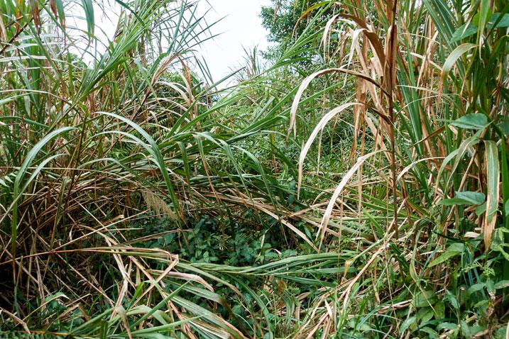 Large stalks of jungle overgrowth