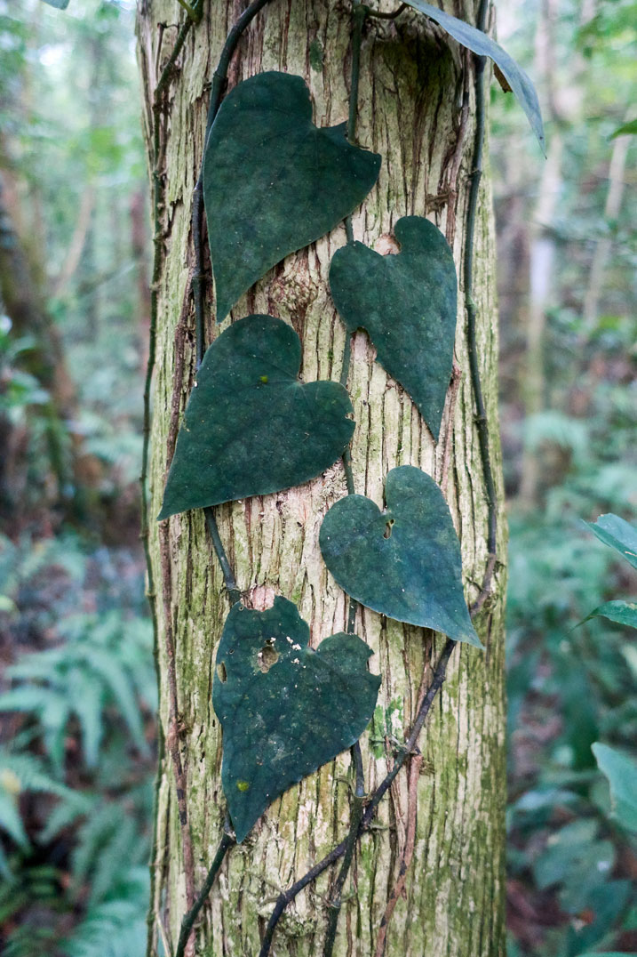 Tree with heart shaped leaves growing from a vine