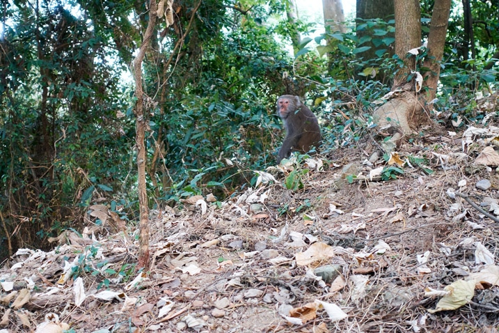 Monkey at side of trail - WeiLiaoShan Hike – 尾寮山