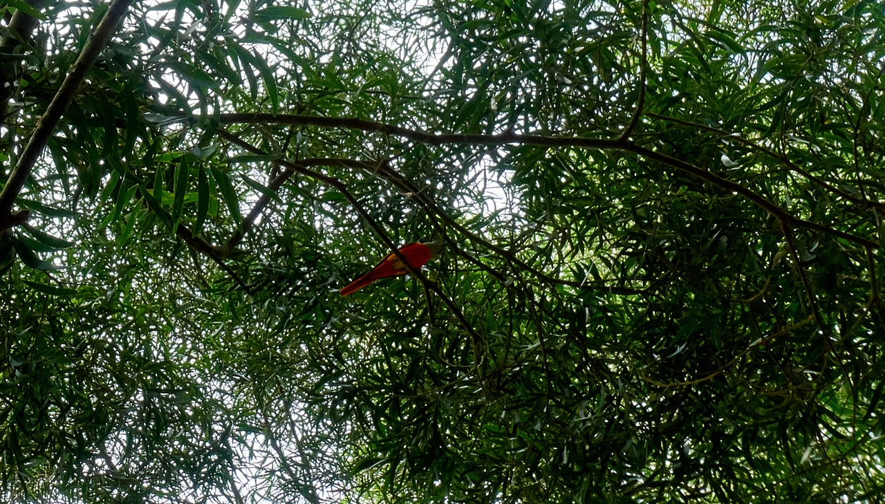 Looking up into the trees at a Gray-chinned minivet - WeiLiaoShan Hike – 尾寮山
