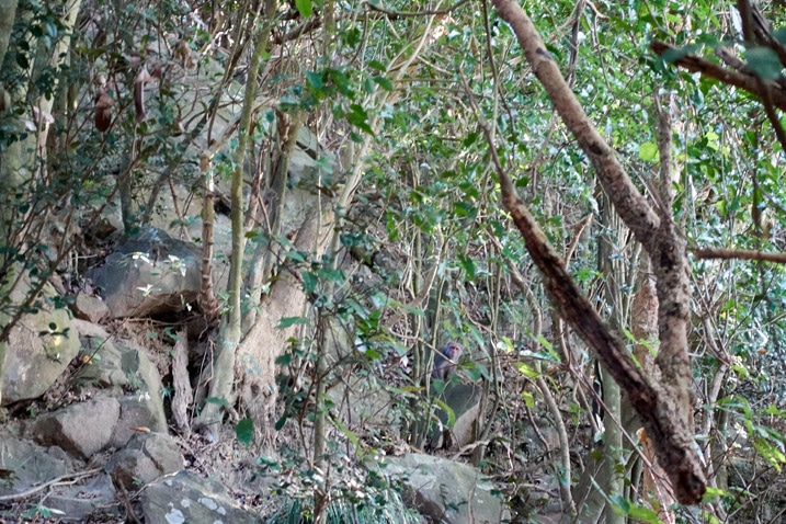 Rocks and trees with a monkey hidden - 旗月縱走
