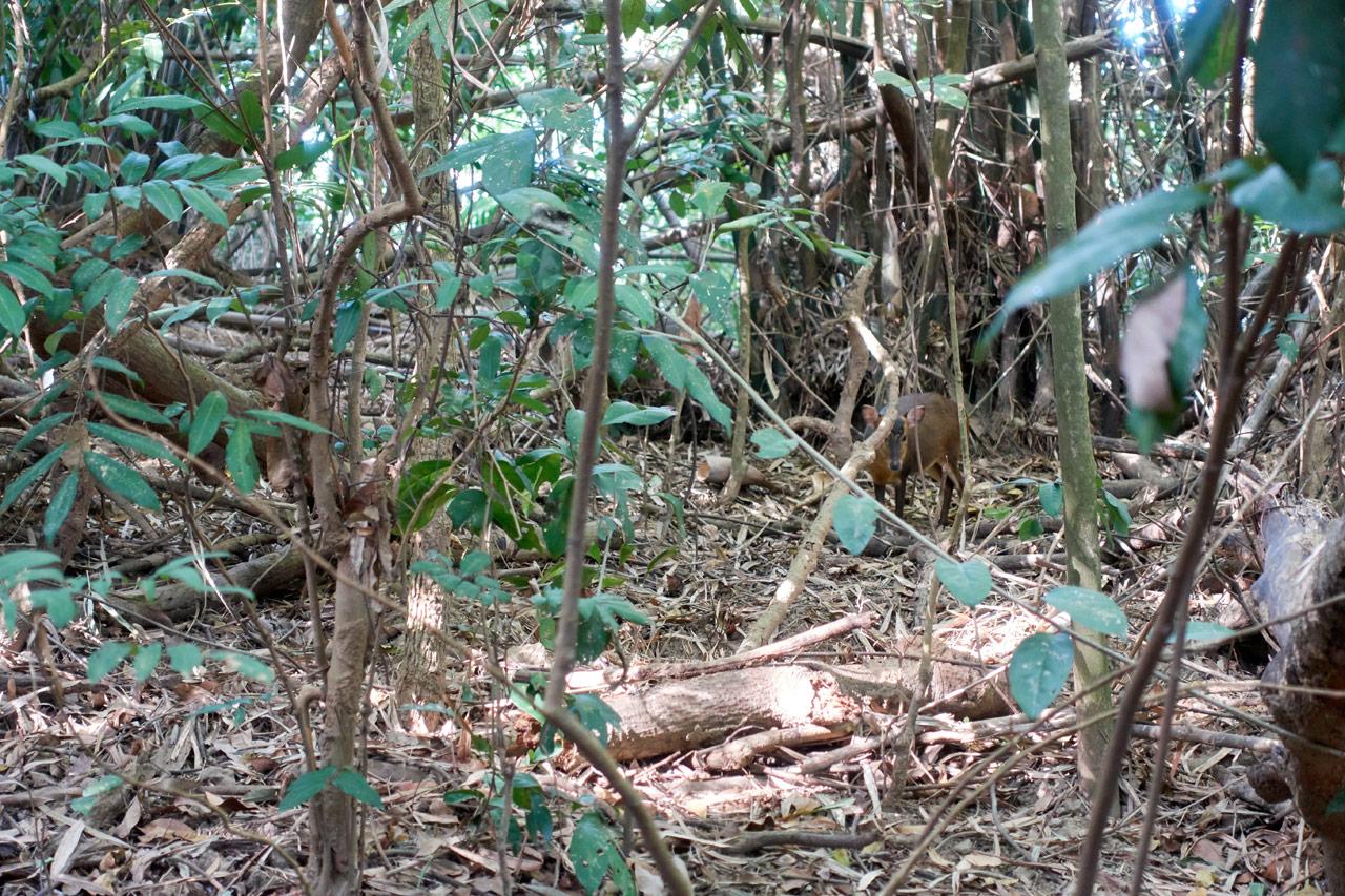Muntjac hiding in the jungle - 靈山步道 - 旗月縱走