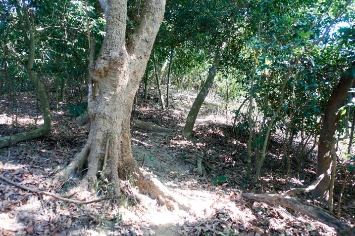 Trail weaving through trees - 旗月縱走
