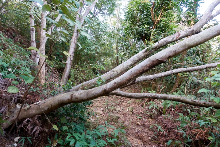 Fallen tree blocking dirt road in the mountains - WuTanShan - 武潭山