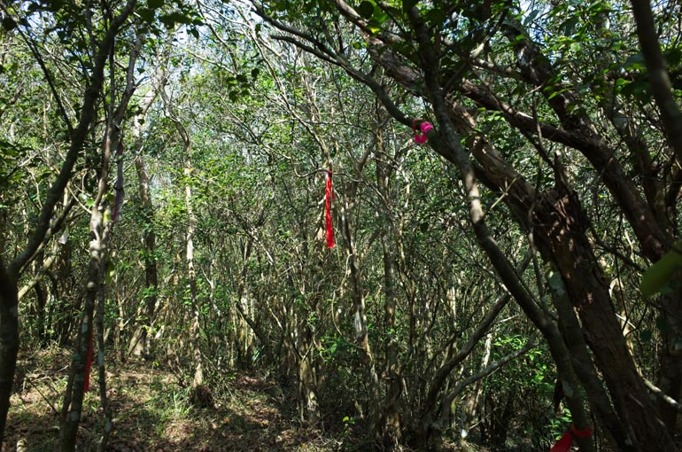 Trees with red trail marker ribbons attached