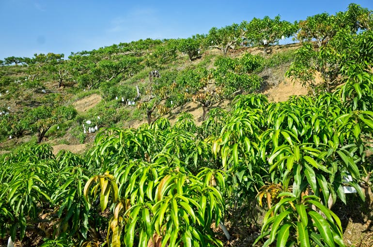Mango trees on mountainside