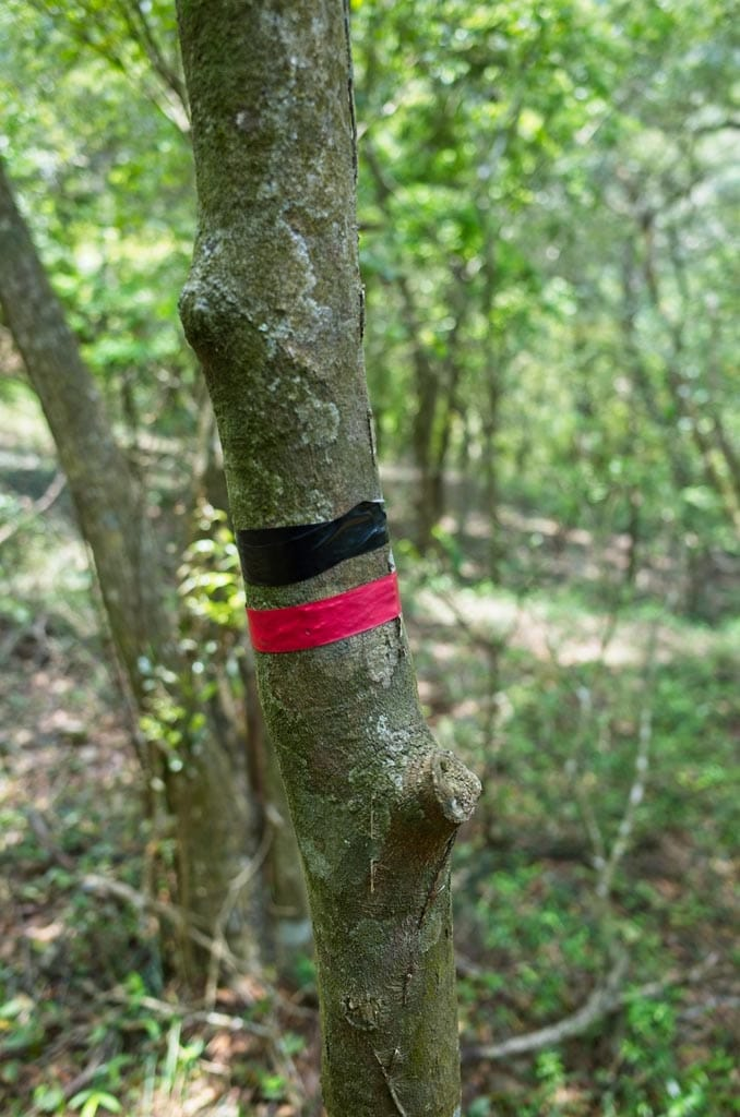 Tree with black and red tape going around it