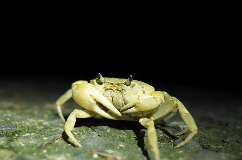 A very pale land crab