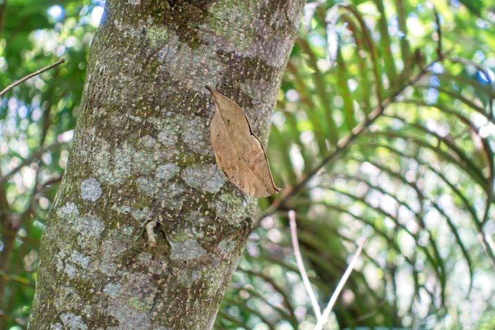 A brown butterfly disguised as a left on the side of a tree