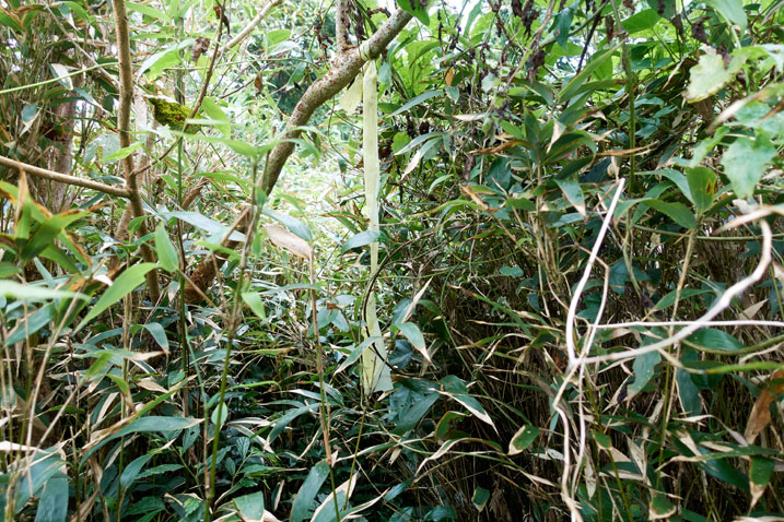 Taiwan jungle - tall grass over head height - yellow trail ribbon in center