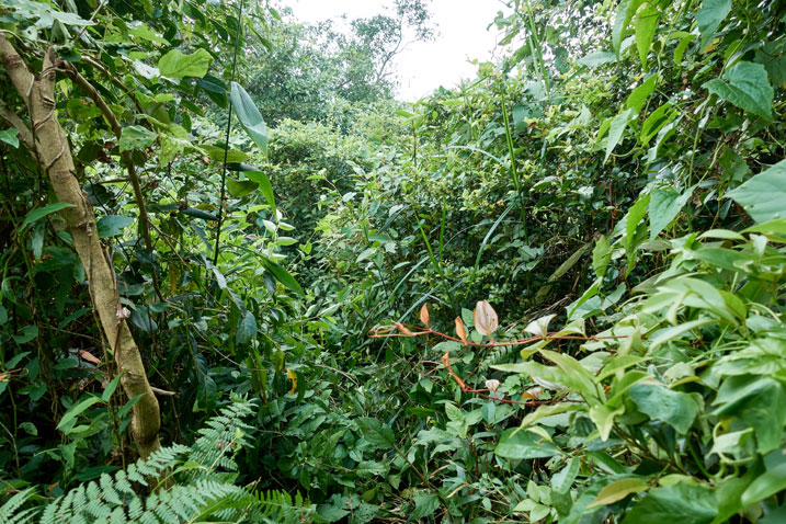 Taiwan jungle - a horrible jumble of plants with what appears to be a slight path through it all