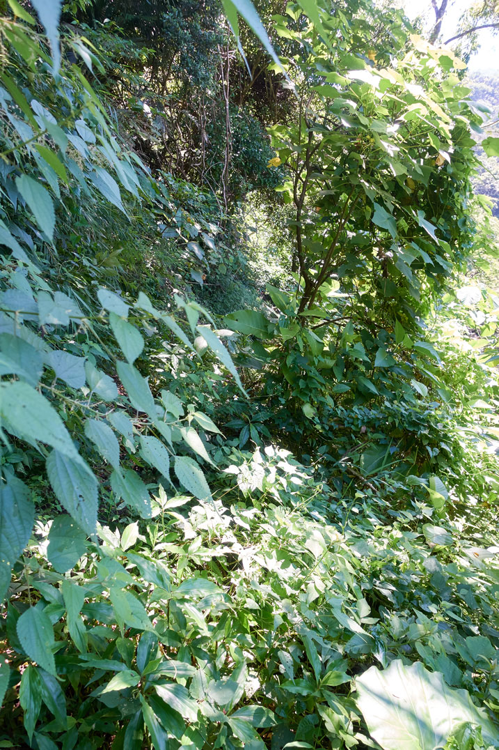 Overgrown trail - lots of plants and trees