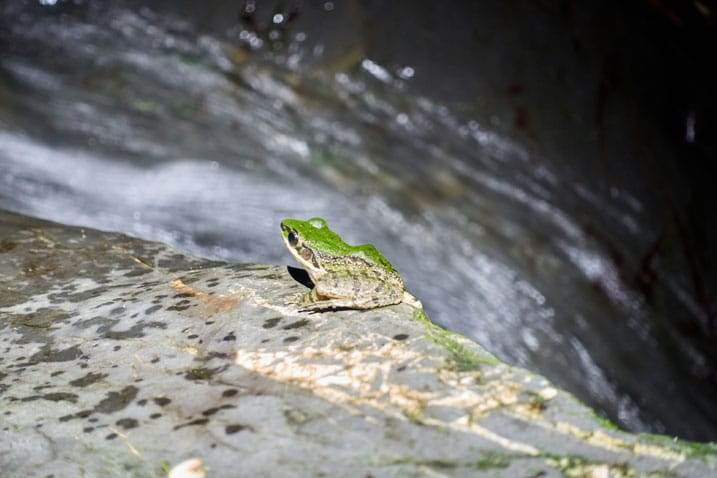 Frog sitting on river rock - water flowing behind