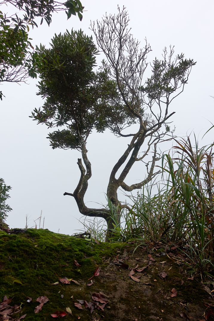 Bent up tree on edge of mountain with fog behind