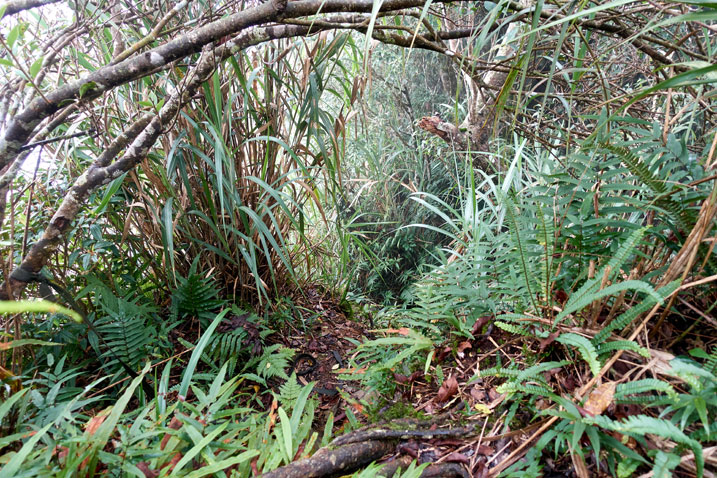 Jungle with slight trail in center