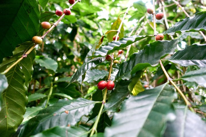 Closeup of wild coffee tree - the red beans are sparse