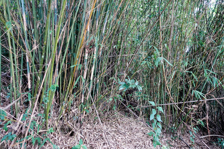Thick patch of bamboo