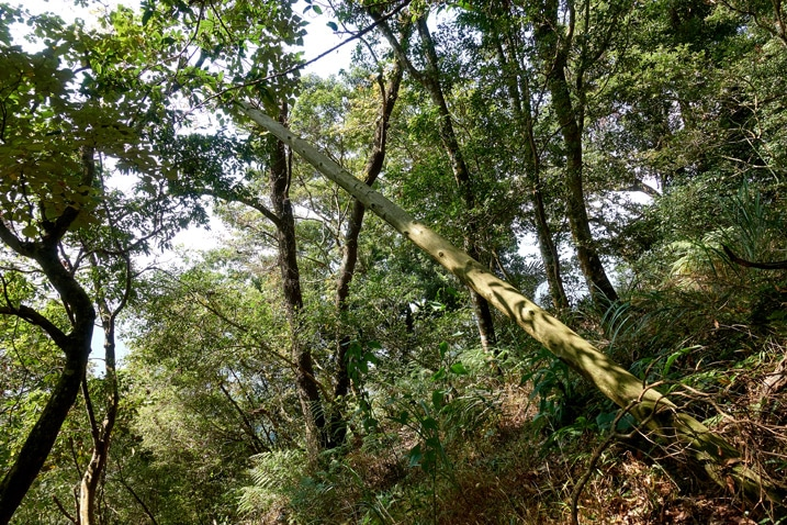 Old half fallen telephone pole - many trees around - ZuMuShan 足母山