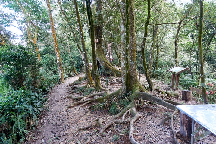 Trees growing in a slightly open area - people hidden in back - WeiLiaoShan 尾寮山 trail