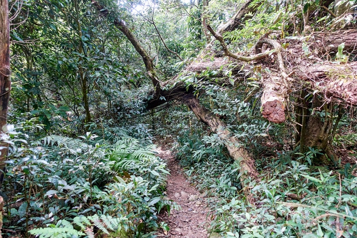 A large fallen tree is suspended over a trail - WeiLiaoShan 尾寮山 trail