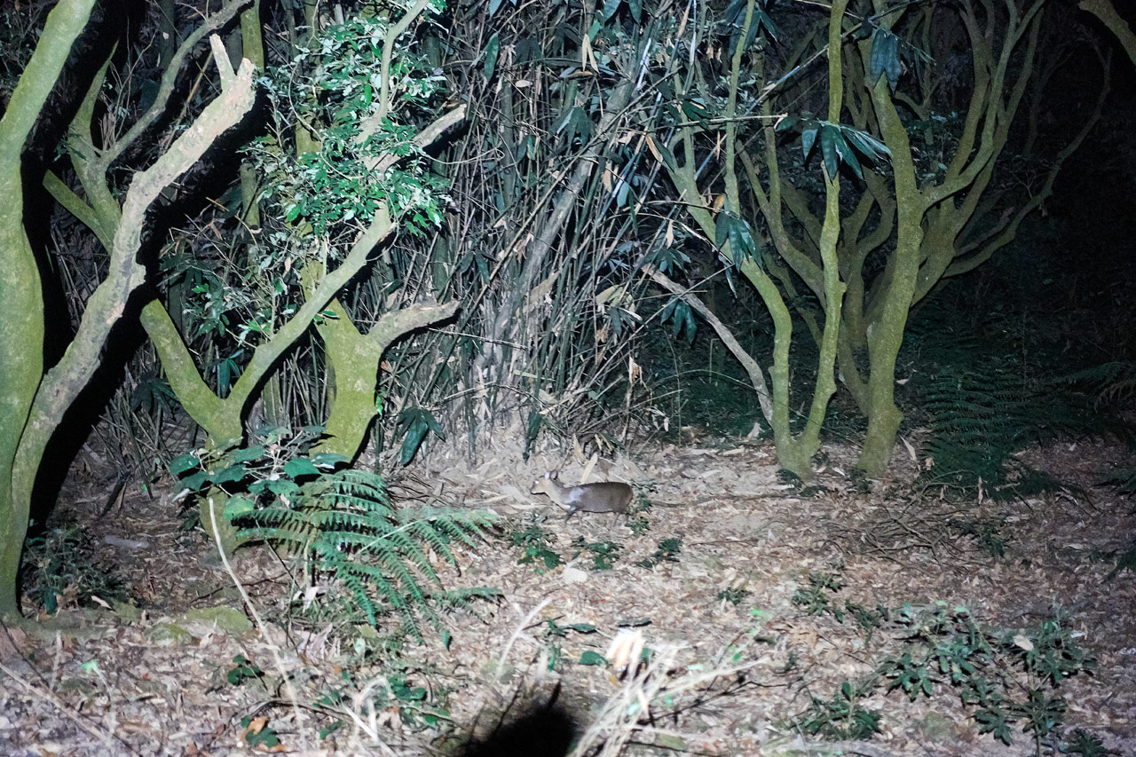 Taiwan muntjac in woods after dark - headlamp making the area bright - WeiLiaoShan 尾寮山 trail