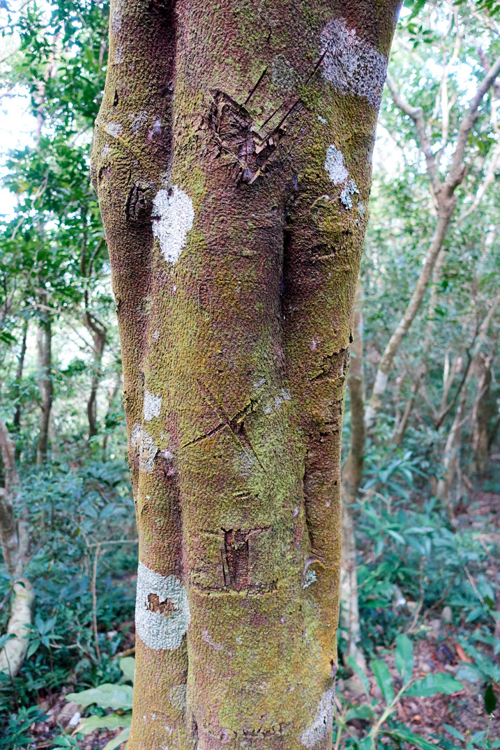 Tree with markings carved into it - BeiHuLuShan 北湖呂山