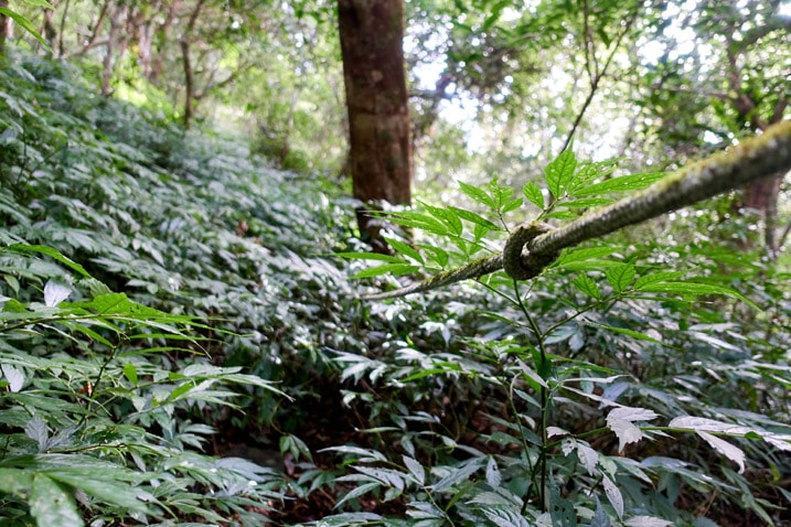 Knotted trail rope disappears in dense foliage - BeiHuLuShan 北湖呂山
