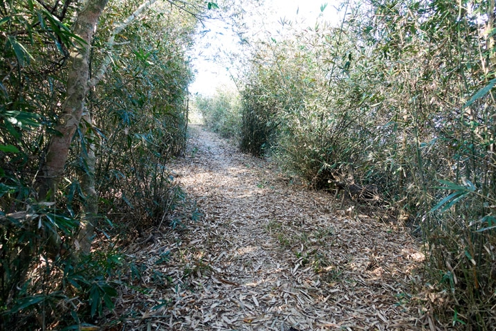 Flat trail with small bamboo trees on either side - 旗月縱走