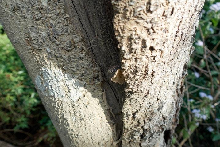 Lizard hiding under tree bark - 旗月縱走
