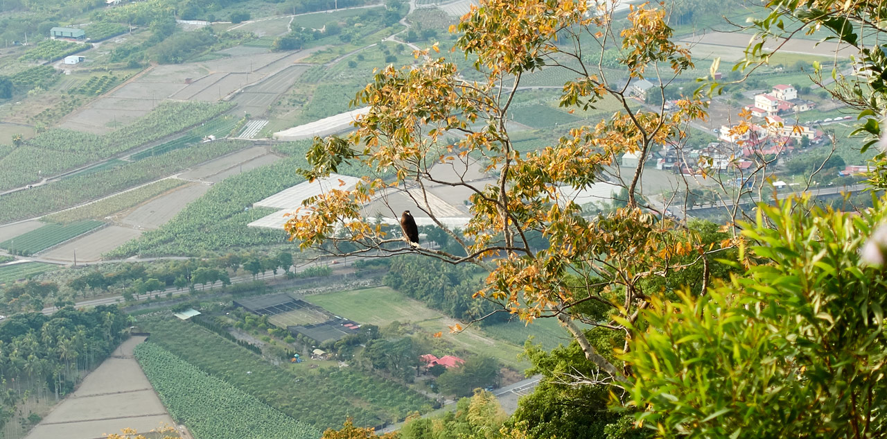 Crested Serpent Eagle in tree - 旗月縱走 - 月光山