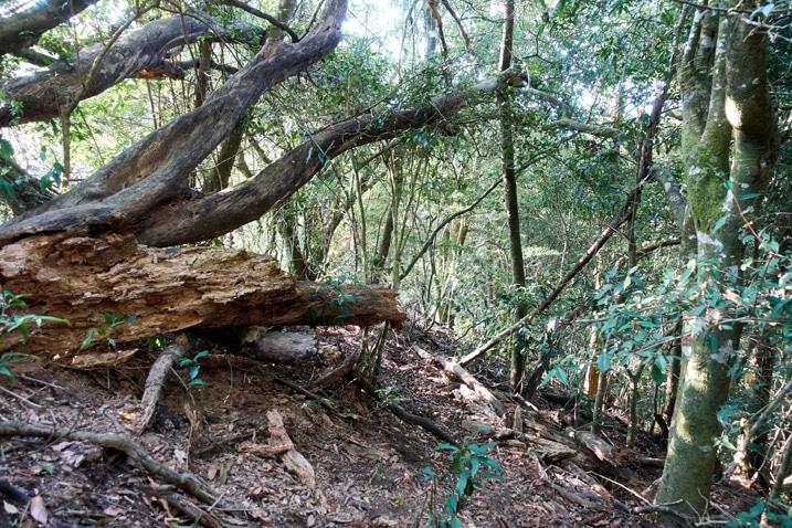 Forest trail - fallen tree - 蕃里山 - FanLiShan