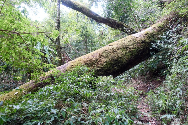 Large tree fallen over mountain trail