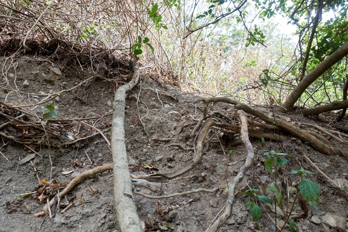 Eroding mountainside - closeup - thick tree root going up