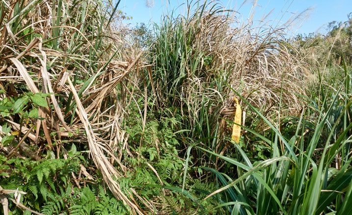 Tall grass with a yellow trail marker ribbon attached to some