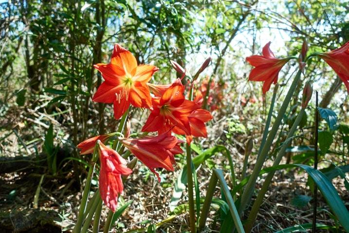Patch of redish orange flowers
