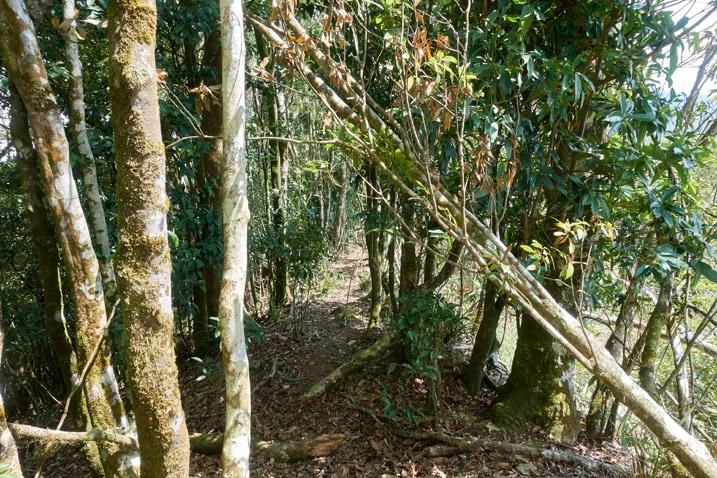 Trail through thick trees