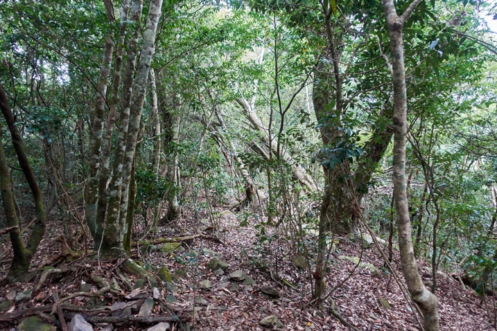 Mountain forest - thick with small trees - leaves on the ground