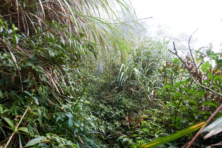 Taiwan jungle - lots of plant overgrowth - slight trail in middle