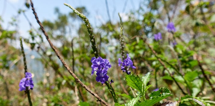 Closeup of small purple flowers